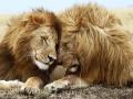 lions_pair-1440x900